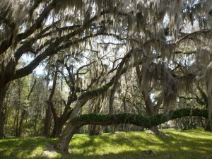 Cathedral of Spanish Moss